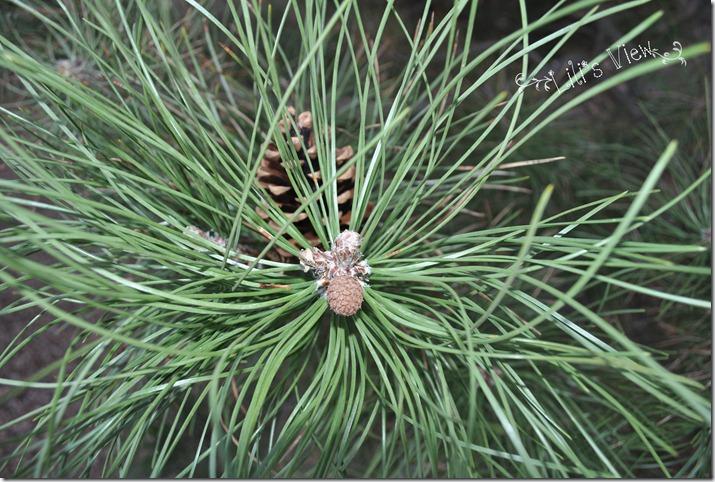 macro pinecone