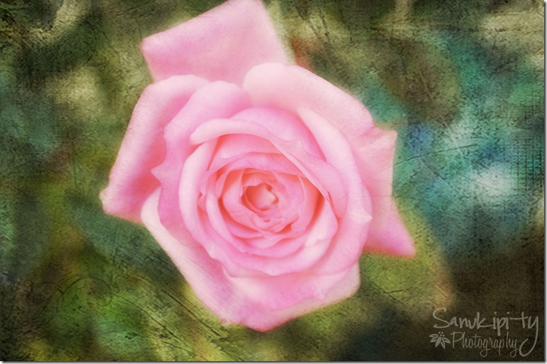 last rose2_edited-1