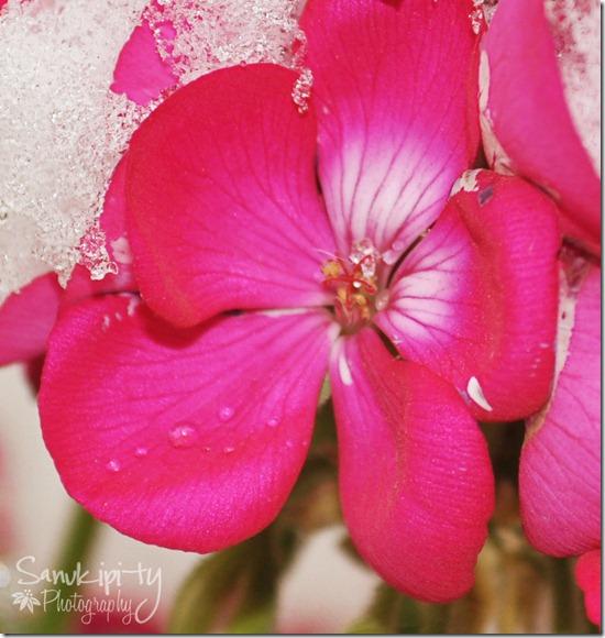 geranium in snow