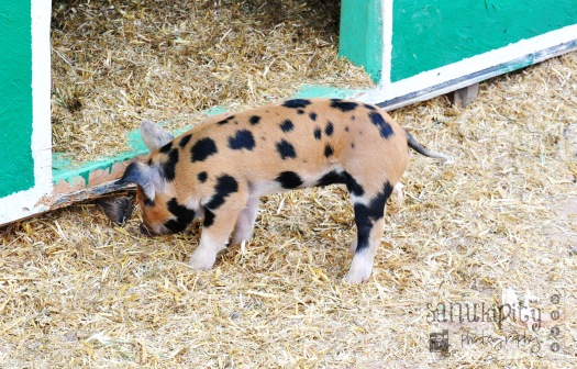 autumn, piglet
